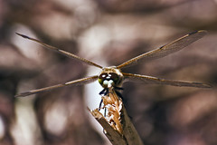 Libellula Quadrimaculata (male ♂)* (0296) (Le Photiste) Tags: clay libellulaquadrimaculata♂ fourspottedchaser fourspottedskimmer vierfleck libelluleàquatretaches libelluladallequattromacchie fyrfläckadtrollslända viervlek dragonfly dragonflies insects natuurparklelystad lelystadthenetherlands thenetherlands nederland nature naturesprime rainbowofnaturelevel1red planetearthnature planetearth ngc afeastformyeyes aphotographersview autofocus artisticimpressions blinkagain beautifulcapture bestpeople'schoice creativeimpuls cazadoresdeimágenes canonflickraward digifotopro damncoolphotographers digitalcreations django'smaster friendsforever finegold fairplay greatphotographers groupecharlie peacetookovermyheart clapclap hairygitselite ineffable infinitexposure iqimagequality interesting inmyeyes lovelyflickr livingwithmultiplesclerosisms myfriendspictures mastersofcreativephotography magicmomentsinyourlife niceasitgets photographers prophoto photographicworld photomix soe simplysuperb saariysqualitypictures showcaseimages simplythebest thebestshot theredgroup simplybecause vividstriking wow worldofdetails wildlife yourbestoftoday lovelyshot macro macrophotography