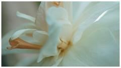 Douceur et volupté (passionpapillon) Tags: macro fleur flower flor fiori passionpapillon 2018 narcisse blanc white pastel
