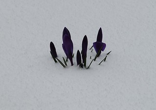 28-02-2018 Spring Crocus Snow