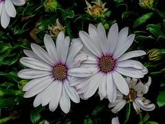 Flower (PinoyFri) Tags: flower blume bulaklak happymothersday love margeritten margerite korbblütler marguerite daisies marguerites 雛菊 데이지 ヒナギク madeliefjes margaridas