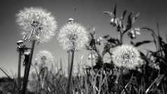 No more color (Renate Bomm) Tags: löwenzahn renatebomm huaweip10 smartphone 7dwf bw verblüht blackwhite flowerinblackwhite dandelion
