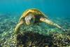 turtle4Mar30-18 (divindk) Tags: cheloniamydas hawaii hawaiianislands honokeana honu maui napili napilipointresort underwater diverdoug endangeredspecies greenseaturtle marine ocean reef sea seaturtle turtle underwaterphotography
