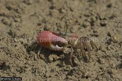41235 Fiddler Crab (male, Uca rosea) with a greatly enlarged claw on mudflat at low tide, Kuala Selangor Nature Park, Selangor, Malaysia. (K Fletcher & D Baylis) Tags: wildlife animal fauna marinefauna estuarinefauna crab fiddlercrab ucarosea claw cheliped mangrove mudflat tide kualaselangornaturepark selangor malaysia asia april2018