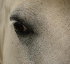 Le regard (pascalhubert1966) Tags: nismes petigny cheval promenade oeil eye horse blanc white weiss nikon nikoniste nikkor d750 nikond750 photo photography pascalhubert animal