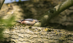 Nuthatch-3939 (WendyCoops224) Tags: 100400mml 80d canon eos localbirdswildlife springwatch ©wendycooper nuthatch