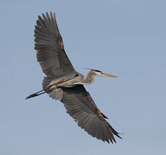 Great Blue Heron (Mawrter) Tags: greatblueheron heron blue bird avian flight flying sky fly canon nature wild wildlife oceancity nj newjersey wings wing wingspan specanimal