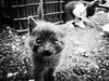 3723 - Slightly out of focus (Diego Rosato) Tags: tito cat gatto kitten gattino pet animal animale bianconero blackwhite fuji x30 sight sguardo focus rawtherapee