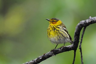 Cape May Warbler, Boulder, Colorado