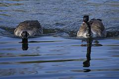 Canadian Swimmers (MrBlueSky*) Tags: geese canadiangeese animal nature outdoor water waterfowl colour kewgardens royalbotanicgardens london pentax pentaxart pentaxlife pentaxawards pentaxflickraward pentaxk1mkii aficionados