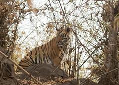 Bengal Tiger - Panthera tigris (Gary Faulkner's wildlife photography) Tags: tiger panthera tigris