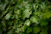 sparkle (Marc R. A.) Tags: green plants leaves water drops apo voigtländer bokeh sparkle exposure