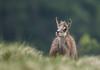 Mignonerie (Eric Penet) Tags: chamois vosges mai printemps hohneck wildlife wild france faune nature montagne est lorraine alsace rupicapra mammifère mammal ambiance soir animal sauvage