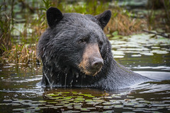 Wouldn't want to meet him in a dark night (wesleybarr1962) Tags: blackbear ursusamericanus blackbearswimming blackbearinlake greatphotographers