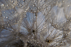 Abstract macro photo (svetoslavradkov) Tags: abstract dandelion water drops macro flower seed meadow plant dew detail unusual rain profile closeup droplet natural many lots green white spring dandy organic seasonal cyan botanic light drip violet