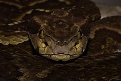 B. jararaca (Albedi Junior) Tags: snakes herpetology atlantic forest canon nature brazil