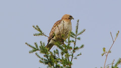 Red-shouldered Hawk-Kingston-5-16-18-8 (McDonaldMorgans) Tags: birding redshoulderedhawk greenheron greateryellowlegs brantrock kingston