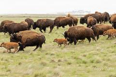 Stampeding Bison herd