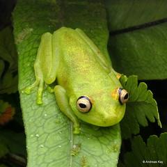 Rough Skinned Green Treefrog, Hypsiboas cinerascens (Ecuador Megadiverso) Tags: amazon amphibian andreaskay anura ecuador frog hylidae hypsiboascinerascens rainforest roughskinnedgreentreefrog tamanduareservaflores treefrog