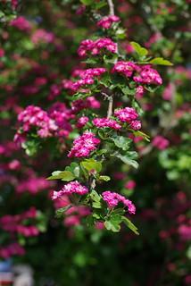 Hot pink blossom