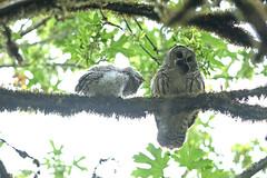 05202018Barred Owl FU5A1734 (Steven Arvid Gerde) Tags: owl