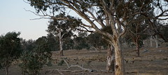 roos graze amongst the eucs (spelio) Tags: low light handheld evening act canberra australia throsby may 2018 a6000 testing eucs trees forest woodland kangaroos mob