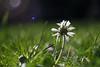 Daisy (Spannarama) Tags: daisy grass lowviewpoint ratseyeview flare lensflare bokeh cimko28mm cimko 28mm garden mumsgarden