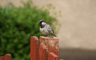 House Sparrow in Scotland