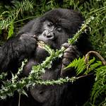 Gorilla eating thumbnail