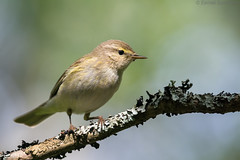 Another leaf warbler (Dreemeli) Tags: commonchiffchaff phylloscopuscollybita bird linnut luonto nature tiltaltti d7200