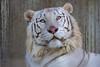 Earth ♂ - Curiosity (Belteshazzar (AKA Harimau Kayu)) Tags: tiger zoo animal bigcat bigcats feline pantheratigristigris königstiger indischertiger eltigredebengala tigredubengale latigrerealedelbengala бенгальскийтигр 孟加拉虎 whitetiger weisertiger tigreblanco tigreblancroyal белыйтигр 孟加拉白虎 zooshot tobu tobuzoo snowwhite sunbathing canada playful playfulcat playfultiger playfulwhitetiger bengal sex blueeyes curiosity nightzoo whenyouwishuponastar utsunomiyazoo utsunomiya tochigi japan furry