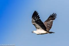 White-bellied Sea-eagle, Inskip, Australia (Manuel ROMARIS) Tags: australia inskip whitebelliedseaeagle queensland au