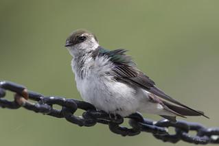 Violet-green Swallow / Hirondelle à face blanche