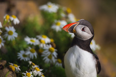 Puffin Classics (Iurie Belegurschi www.iceland-photo-tours.com) Tags: puffin puffins atlantic atlanticpuffin flowers wildflowers flower flowery birds seabirds pelagicseabirds waterbird adventure arctic beautiful daytours fineart fineartphotography fineartlandscape fineartphotos finearticeland guidedphotographyworkshops guidedtoursiceland guidedphotographytour guidedtoursiniceland icelandphototours iceland iuriebelegurschi icelandic icelanders icelandphotographyworkshops icelandphotoworkshops icelandphotographytrip landscape landscapephotography landscapephoto landscapes landscapephotos nature outdoor outdoors phototours photographyiniceland phototour photographyworkshopsiniceland summer serene tours travelphotography travel tripsiceland workshop workshops birdphotography wildlife wildlifephotography animals animalphotography wildanimal flora flowering blossoming blossoms quirky nesting
