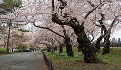 Yoshino Cherries in Bloom (CVerwaal) Tags: bridlepath centralpark cherryblossoms spring newyork ny usa yoshinocherry olympusem5 mzuiko25mmf18