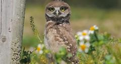 owlet (marianna_a.) Tags: p2080798 burrowing owl owlet chick vista park florida bird family bokeh hbw marianna armata