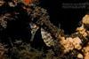 seahorse hidden in shark net (Nicolas & Léna REMY) Tags: nsw marinelife nauticam ocean wildlife australia fish seahorse cliftongardens sydney underwater inon pacificocean diving hippocampe mer photography plongée poisson scuba sea wild
