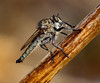 robber fly (nature | landscape photography) Tags: nature wildlife macro robber fly insect macrounlimited