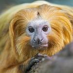 Portrait of a golden lion tamarin thumbnail