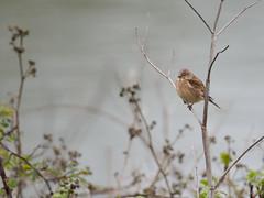 Lone Linnet (Tony McLean) Tags: ©2018tonymclean tophilllow eastyorkshire naturephotography wildlifephotography nikond4 nikon500f4gvr linnet