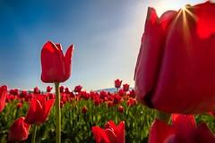 Tulips in the sunshine II (SomethingUWontForget) Tags: tulip tulips skagit valley mount vernon flower flowers green bright sunshine backlit washington red festival nature nikon d7200