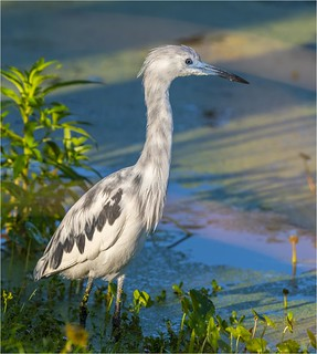 Little Blue Heron ( Morphing Stage )_
