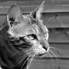 Bengal (intramuros40) Tags: cat gatti chat bengal