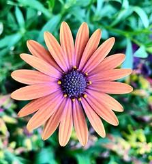 The Detailed Flower (HSBasra) Tags: closeup devil orange beautiful iphonex iphone longwood purple green nature colorful colourful colour color flower macro detail