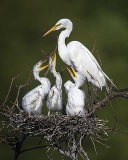 Nesting Great Egrets - High Island, Texas