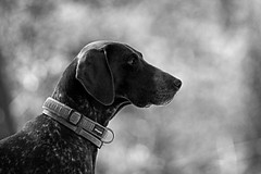 The Neighbor's Dog - Canon FD 400mm f4,5 S.S.C. (petrwag) Tags: canonfd400mmf45ssc sonya6500 bw blackandwhite blancoynegro blackwhite černobílé clickcamera noiretblanc noirblanc bokeh manuallens vintagelens