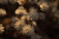 jdy333XX20171129a6352-2.jpg (rachelgreenbelt) Tags: familyasteraceae orderasterales subfamilyasteroideae eudicots campanulidsclade asteridsclade supertribeasterodae asterwildwhite oneplant singleplantportrait