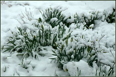 The day before May... (edenseekr) Tags: april30 snowfall snowy daffodils