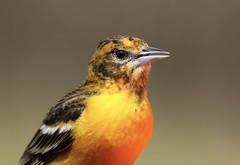 Baltimore Oriole (Diane Marshman) Tags: baltimore oriole female medium size bird orange chest breast black white wings feathers spring northeast pa pennsylvania nature wildlife