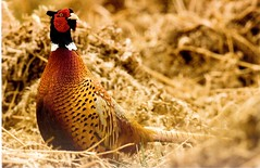 Postcrossing US-5310006 (booboo_babies) Tags: bird pheasant nature outdoors postcrossing