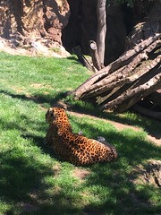 Leopardo de Sri Lanka (MarisaTárraga) Tags: españa spain valencia zoo bioparc leopardo animal leopard naturaleza nature verde green iphone6s